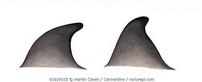 Gray's beaked whale (Mesoplodon grayi) adult dorsal fin variations     No more than 15 illustrations by Martin Camm, Rebecca Robinson and/or Toni Llobet to be used in a single project or book edition, except by prior written agreement from Mark Carwardine.  ,  Animal,Wildlife,Vertebrate,Mammal,Ceteacean,Beaked whale,Mesoplodont whales,Gray&#39,s Beaked Whale,Animalia,Animal,Wildlife,Vertebrate,Mammalia,Mammal,Cetacea,Ceteacean,Ziphiidae,Beaked whale,Odontoceti,Toothed whales,Mesoplodon,Mesoplodont whales,Mesoplodon grayi,Gray&#39,s Beaked Whale,Southern Beaked Whale,Mesoplodon australis,Mesoplodon haasti,Cutout,Plain Background,White Background,Illustration,Marine  ,  Martin Camm / Carwardine