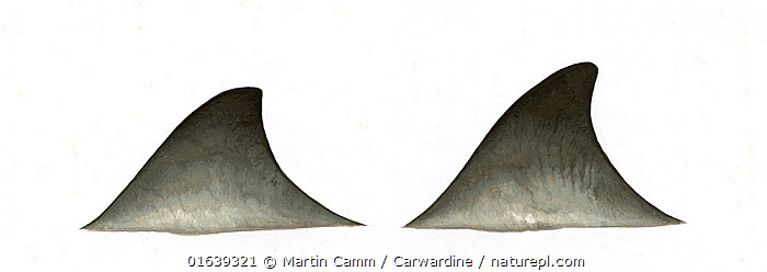 Gervais' beaked whale (Mesoplodon europaeus)adult dorsal fin variations     No more than 15 illustrations by Martin Camm, Rebecca Robinson and/or Toni Llobet to be used in a single project or book edition, except by prior written agreement from Mark Carwardine.  ,  Animal,Animalia,Beaked whale,Cetacea,cetacean,Cutout,Gervais&#39,Gulf Stream Beaked Whale,Illustration,Mammal,Mammalia,Marine,Mesoplodon,Mesoplodon europaeus,Mesoplodon gervaisi,Mesoplodont whales,Odontoceti,Plain Background,Toothed whales,Vertebrate,White Background,Wildlife,Ziphiidae  ,  Martin Camm / Carwardine