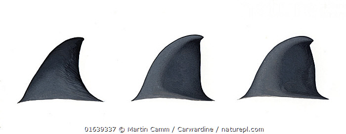 Dwarf Baird's beaked whale (Berardius sp - possibly minimus) Dorsal fin variations (artist's impression based on little information)     No more than 15 illustrations by Martin Camm, Rebecca Robinson and/or Toni Llobet to be used in a single project or book edition, except by prior written agreement from Mark Carwardine.  ,  Animal,Wildlife,Vertebrate,Mammal,Ceteacean,Beaked whale,Animalia,Animal,Wildlife,Vertebrate,Mammalia,Mammal,Cetacea,Ceteacean,Ziphiidae,Beaked whale,Odontoceti,Toothed whales,Beradius,Cutout,Plain Background,White Background,Illustration,Marine  ,  Martin Camm / Carwardine