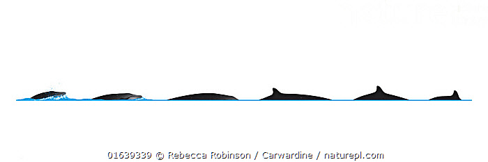 Deraniyagala's beaked whale (Mesoplodon hotaula) Dive sequence     No more than 15 illustrations by Martin Camm, Rebecca Robinson and/or Toni Llobet to be used in a single project or book edition, except by prior written agreement from Mark Carwardine.  ,  Animal,Animalia,Beaked whale,Cetacea,cetacean,Cutout,Deraniyagala�s Beaked Whale,Illustration,Mammal,Mammalia,Marine,Mesoplodon,Mesoplodon hotaula,Mesoplodont whales,Odontoceti,Plain Background,Toothed whales,Vertebrate,White Background,Wildlife,Ziphiidae  ,  Rebecca Robinson / Carwardine