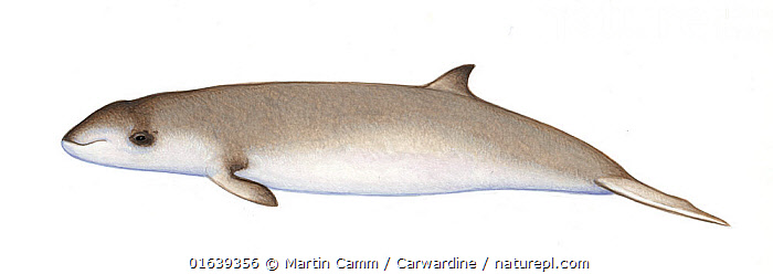 Cuvier's beaked whale (Ziphius cavirostris)calf     No more than 15 illustrations by Martin Camm, Rebecca Robinson and/or Toni Llobet to be used in a single project or book edition, except by prior written agreement from Mark Carwardine.  ,  Animal,Animalia,Baby,Baby Mammal,Beaked whale,Calf,Cetacea,cetacean,Cutout,Cuvier&#39,Goosebeak Whale,Goose-beaked Whale,Illustration,Mammal,Mammalia,Marine,Odontoceti,Plain Background,s Beaked Whale,Toothed whales,Vertebrate,White Background,Wildlife,Young Animal,Ziphiidae,Ziphius,Ziphius capensis,Ziphius cavirostris,Ziphius chathamensis,Ziphius indicus  ,  Martin Camm / Carwardine