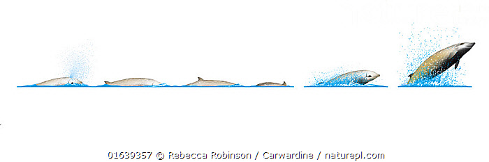 Cuvier's beaked whale (Ziphius cavirostris)