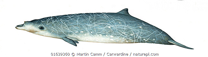 Blainville's beaked whale (Mesoplodon densirostris)