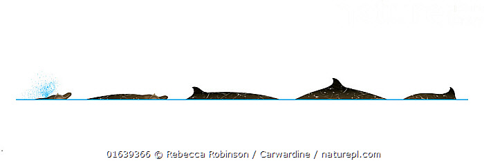 Blainville's beaked whale (Mesoplodon densirostris) Dive sequence     No more than 15 illustrations by Martin Camm, Rebecca Robinson and/or Toni Llobet to be used in a single project or book edition, except by prior written agreement from Mark Carwardine.  ,  Animal,Wildlife,Vertebrate,Mammal,Ceteacean,Beaked whale,Mesoplodont whales,Dense beaked whale,Animalia,Animal,Wildlife,Vertebrate,Mammalia,Mammal,Cetacea,Ceteacean,Ziphiidae,Beaked whale,Odontoceti,Toothed whales,Mesoplodon,Mesoplodont whales,Mesoplodon densirostris,Dense beaked whale,Blainville&#39,s beaked whale,Mesoplodon seychellensis,Cutout,Plain Background,White Background,Illustration,Marine  ,  Rebecca Robinson / Carwardine