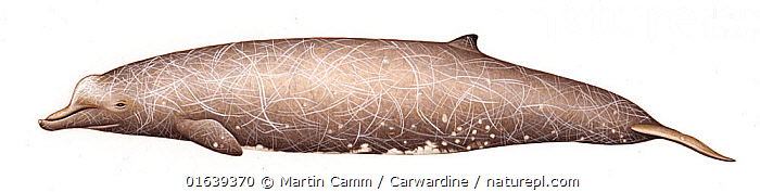 Baird's beaked whale (Berardius bairdii) Old adult male with diatoms     No more than 15 illustrations by Martin Camm, Rebecca Robinson and/or Toni Llobet to be used in a single project or book edition, except by prior written agreement from Mark Carwardine.  ,  Animal,Wildlife,Vertebrate,Mammal,Ceteacean,Beaked whale,Baird&#39,s Beaked Whale,Animalia,Animal,Wildlife,Vertebrate,Mammalia,Mammal,Cetacea,Ceteacean,Ziphiidae,Beaked whale,Odontoceti,Toothed whales,Beradius,Berardius bairdii,Baird&#39,s Beaked Whale,Giant Bottle-nosed Whale,Northern Four-toothed Whale,North Pacific Bottlenose Whale,Berardius vegae,Cutout,Plain Background,White Background,Illustration,Male Animal,Marine  ,  Martin Camm / Carwardine