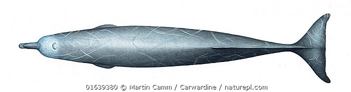 Arnoux's beaked whale (Berardius arnuxii) adult upperside     No more than 15 illustrations by Martin Camm, Rebecca Robinson and/or Toni Llobet to be used in a single project or book edition, except by prior written agreement from Mark Carwardine.  ,  Animal,Wildlife,Vertebrate,Mammal,Ceteacean,Beaked whale,Animalia,Animal,Wildlife,Vertebrate,Mammalia,Mammal,Cetacea,Ceteacean,Ziphiidae,Beaked whale,Odontoceti,Toothed whales,Cutout,Plain Background,White Background,Illustration,Berardius arnuxii,Arnoux&#39,s Beaked Whale,Southern Four-toothed Whale,Berardiinae,Marine  ,  Martin Camm / Carwardine