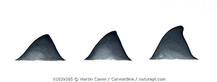 Andrews' beaked whale (Mesoplodon bowdoini) adult dorsal fin variations     No more than 15 illustrations by Martin Camm, Rebecca Robinson and/or Toni Llobet to be used in a single project or book edition, except by prior written agreement from Mark Carwardine.  ,  Animal,Wildlife,Vertebrate,Mammal,Ceteacean,Beaked whale,Mesoplodont whales,Andrew&#39,s Beaked Whale,Animalia,Animal,Wildlife,Vertebrate,Mammalia,Mammal,Cetacea,Ceteacean,Ziphiidae,Beaked whale,Odontoceti,Toothed whales,Mesoplodon,Mesoplodont whales,Mesoplodon bowdoini,Andrew&#39,s Beaked Whale,Andrews&#39, Beaked Whale,Splaytooth Beaked Whale,Cutout,Plain Background,White Background,Illustration,Marine  ,  Martin Camm / Carwardine