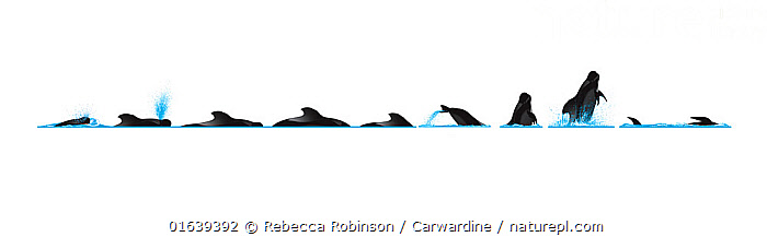 Short-finned pilot whale (Globicephala macrorhynchus) Dive sequence - sphyop - breaching     No more than 15 illustrations by Martin Camm, Rebecca Robinson and/or Toni Llobet to be used in a single project or book edition, except by prior written agreement from Mark Carwardine.  ,  Animal,Wildlife,Vertebrate,Mammal,Ceteacean,Oceanic dolphin,Pacific Pilot Whale,Animalia,Animal,Wildlife,Vertebrate,Mammalia,Mammal,Cetacea,Ceteacean,Delphinidae,Oceanic dolphin,Dolphin,Odontoceti,Globicephala,Globicephala macrorhynchus,Pacific Pilot Whale,Short-finned Pilot Whale,Breaching,Cutout,Plain Background,White Background,Illustration,Animal Behaviour,Behaviour,Breaches,Surfacing,Behavioural,Marine  ,  Rebecca Robinson / Carwardine