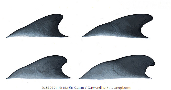 Short-finned pilot whale (Globicephala macrorhynchus)adult male dorsal fin variations     No more than 15 illustrations by Martin Camm, Rebecca Robinson and/or Toni Llobet to be used in a single project or book edition, except by prior written agreement from Mark Carwardine.  ,  Animal,Animalia,Cetacea,cetacean,Cutout,Delphinidae,Dolphin,Globicephala,Globicephala macrorhynchus,Illustration,Male Animal,Mammal,Mammalia,Marine,Oceanic dolphin,Odontoceti,Pacific Pilot Whale,Plain Background,Short-finned Pilot Whale,Vertebrate,White Background,Wildlife  ,  Martin Camm / Carwardine