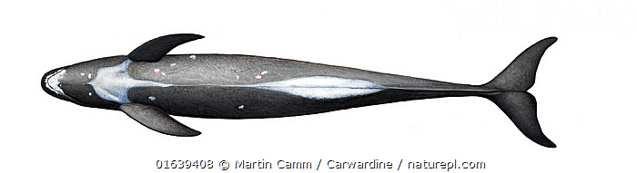 Pygmy killer whale (Feresa attenuata) adult underside     No more than 15 illustrations by Martin Camm, Rebecca Robinson and/or Toni Llobet to be used in a single project or book edition, except by prior written agreement from Mark Carwardine.  ,  Animal,Wildlife,Vertebrate,Mammal,Ceteacean,Oceanic dolphin,Pygmy Killer Whale,Animalia,Animal,Wildlife,Vertebrate,Mammalia,Mammal,Cetacea,Ceteacean,Delphinidae,Oceanic dolphin,Dolphin,Odontoceti,Feresa,Feresa attenuata,Pygmy Killer Whale,Slender Blackfish,Feresa intermedius,Feresa intermedia,Feresa occulta,Cutout,Plain Background,White Background,Illustration,Marine  ,  Martin Camm / Carwardine