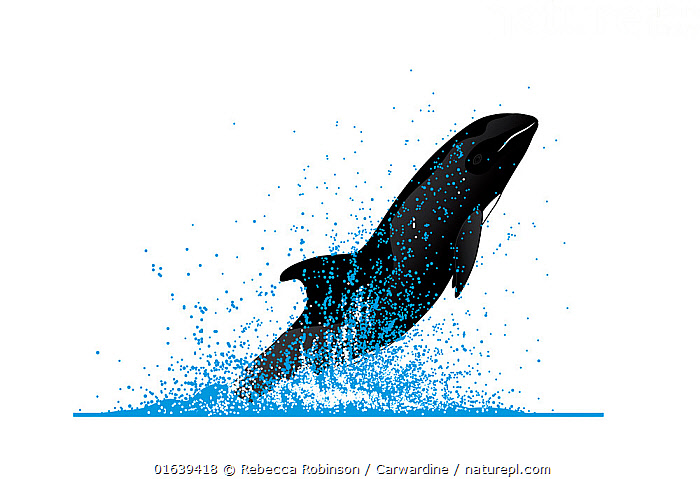 Melon-headed whale (Peponocephala electra) Breaching     No more than 15 illustrations by Martin Camm, Rebecca Robinson and/or Toni Llobet to be used in a single project or book edition, except by prior written agreement from Mark Carwardine.  ,  Animal,Wildlife,Vertebrate,Mammal,Ceteacean,Oceanic dolphin,Melon headed whale,Animalia,Animal,Wildlife,Vertebrate,Mammalia,Mammal,Cetacea,Ceteacean,Delphinidae,Oceanic dolphin,Dolphin,Odontoceti,Peponcephala,Peponocephala electra,Melon headed whale,Peponocephala asia,Peponocephala fusiformis,Peponocephala pectoralis,Breaching,Cutout,Plain Background,White Background,Illustration,Animal Behaviour,Behaviour,Breaches,Surfacing,Behavioural,Marine  ,  Rebecca Robinson / Carwardine