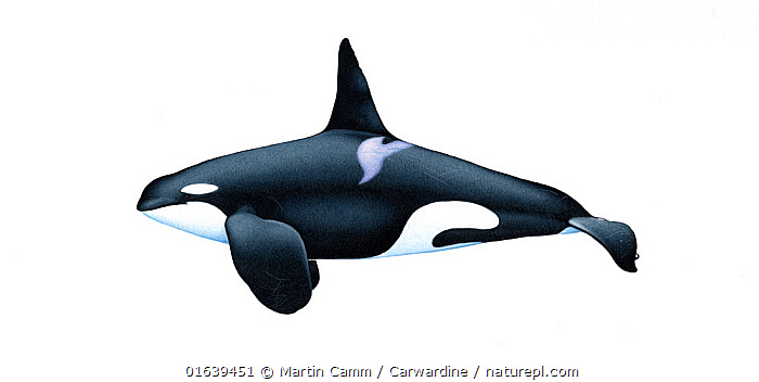 Killer whale or orca (Orcinus orca)adult male resident ecotype     No more than 15 illustrations by Martin Camm, Rebecca Robinson and/or Toni Llobet to be used in a single project or book edition, except by prior written agreement from Mark Carwardine.  ,  Animal,Animalia,Cetacea,cetacean,Cutout,Delphinidae,Dolphin,Illustration,Killer Whale,Male Animal,Mammal,Mammalia,Marine,Oceanic dolphin,Odontoceti,Orca,Orcinus,Orcinus ater,Orcinus capensis,Orcinus gladiator,Orcinus orca,Plain Background,Vertebrate,White Background,Wildlife  ,  Martin Camm / Carwardine