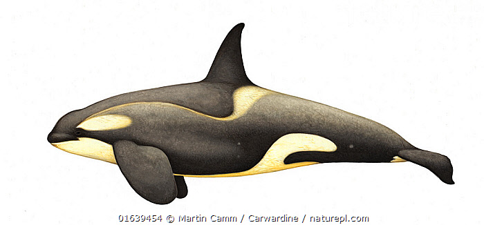 Killer whale or orca (Orcinus orca) adult male Antarctic Large Type B (Pack Ice) ecotype with diatoms     No more than 15 illustrations by Martin Camm, Rebecca Robinson and/or Toni Llobet to be used in a single project or book edition, except by prior written agreement from Mark Carwardine.  ,  Animal,Wildlife,Vertebrate,Mammal,Ceteacean,Oceanic dolphin,Killer Whale,Animalia,Animal,Wildlife,Vertebrate,Mammalia,Mammal,Cetacea,Ceteacean,Delphinidae,Oceanic dolphin,Dolphin,Odontoceti,Orcinus,Orcinus orca,Killer Whale,Orca,Orcinus gladiator,Orcinus ater,Orcinus capensis,Cutout,Plain Background,White Background,Illustration,Male Animal,Marine  ,  Martin Camm / Carwardine