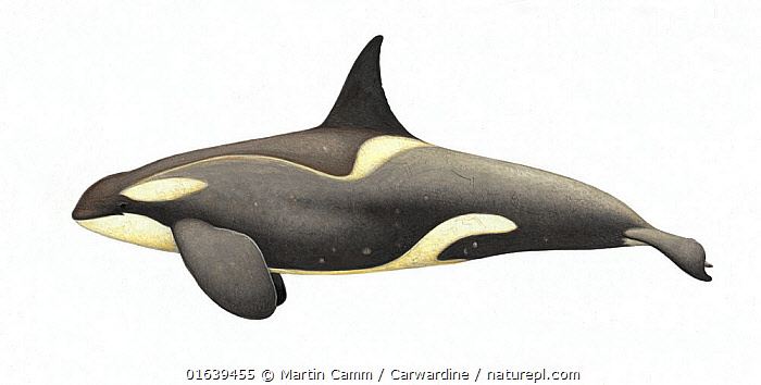 Killer whale or orca (Orcinus orca)adult male Antarctic Small Type B (Gerlache) ecotype with diatoms     No more than 15 illustrations by Martin Camm, Rebecca Robinson and/or Toni Llobet to be used in a single project or book edition, except by prior written agreement from Mark Carwardine.  ,  Animal,Animalia,Cetacea,cetacean,Cutout,Delphinidae,Dolphin,Illustration,Killer Whale,Male Animal,Mammal,Mammalia,Marine,Oceanic dolphin,Odontoceti,Orca,Orcinus,Orcinus ater,Orcinus capensis,Orcinus gladiator,Orcinus orca,Plain Background,Vertebrate,White Background,Wildlife  ,  Martin Camm / Carwardine