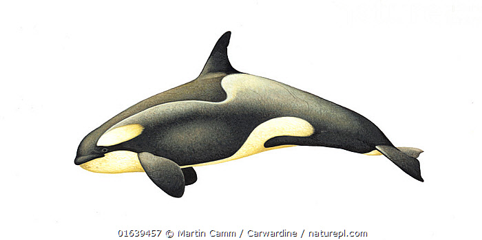Killer whale or orca (Orcinus orca)adult female Antarctic Large Type B (Pack Ice) ecotype with diatoms     No more than 15 illustrations by Martin Camm, Rebecca Robinson and/or Toni Llobet to be used in a single project or book edition, except by prior written agreement from Mark Carwardine.  ,  Animal,Animalia,Cetacea,cetacean,Cutout,Delphinidae,Dolphin,Female animal,Illustration,Killer Whale,Mammal,Mammalia,Marine,Oceanic dolphin,Odontoceti,Orca,Orcinus,Orcinus ater,Orcinus capensis,Orcinus gladiator,Orcinus orca,Plain Background,Vertebrate,White Background,Wildlife  ,  Martin Camm / Carwardine