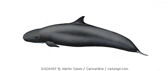 False killer whale (Pseudorca crassidens)calf     No more than 15 illustrations by Martin Camm, Rebecca Robinson and/or Toni Llobet to be used in a single project or book edition, except by prior written agreement from Mark Carwardine.  ,  Animal,Animalia,Baby,Baby Mammal,Calf,Cetacea,cetacean,Cutout,Delphinidae,Dolphin,False killer whale,Illustration,Mammal,Mammalia,Marine,Oceanic dolphin,Odontoceti,Plain Background,Pseudorca,Pseudorca crassidens,Pseudorca destructor,Pseudorca meridionalis,Vertebrate,White Background,Wildlife,Young Animal  ,  Martin Camm / Carwardine