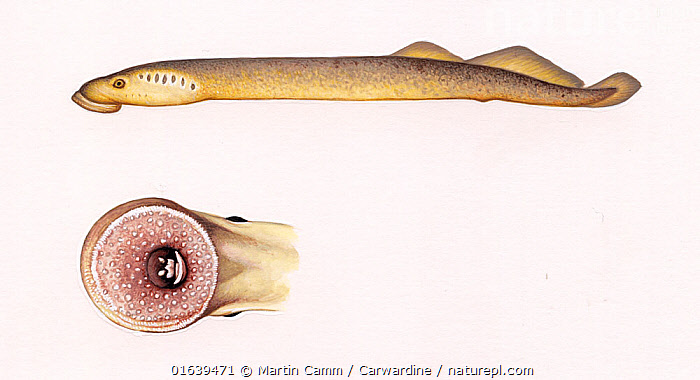 North Atlantic lamprey (Petromyzon marinus) adult Disc-shaped suction cup around mouth     No more than 15 illustrations by Martin Camm, Rebecca Robinson and/or Toni Llobet to be used in a single project or book edition, except by prior written agreement from Mark Carwardine.  ,  Animal,Wildlife,Vertebrate,Jawless fish,Lamprey,Northern lampreys,Sea lamprey,Animalia,Animal,Wildlife,Vertebrate,Cephalaspidomorphi,Jawless fish,Petromyzontiformes,Lamprey,Lamprey eel,Petromyzontidae,Northern lampreys,Petromyzon,Sea lamprey,Petromyzon marinus,Ammocoetes bicolor,Lampetra marina,Oceanomyzon wilsoni,Cutout,Plain Background,White Background,Illustration,Marine  ,  Martin Camm / Carwardine