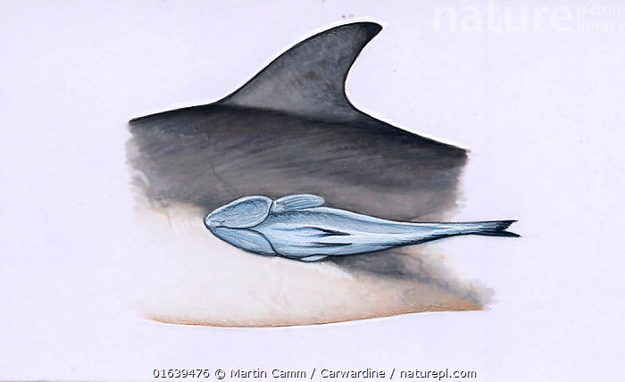 adult whalesucker (Remora australis) on a dolphin     No more than 15 illustrations by Martin Camm, Rebecca Robinson and/or Toni Llobet to be used in a single project or book edition, except by prior written agreement from Mark Carwardine.  ,  Cutout,Plain Background,White Background,Illustration,  ,  Martin Camm / Carwardine
