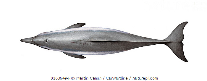 Tucuxi (Sotalia fluviatilis) adult male upperside     No more than 15 illustrations by Martin Camm, Rebecca Robinson and/or Toni Llobet to be used in a single project or book edition, except by prior written agreement from Mark Carwardine.  ,  Animal,Animalia,Cetacea,cetacean,Cutout,Delphinidae,Dolphin,Estuarine Dolphin,Gray Dolphin,Illustration,Male Animal,Mammal,Mammalia,Marine,Oceanic dolphin,Odontoceti,Plain Background,Sotalia,Sotalia fluviatilis,Sotalia pallida,Sotalia tucuxi,Tucuxi,Vertebrate,White Background,Wildlife  ,  Martin Camm / Carwardine