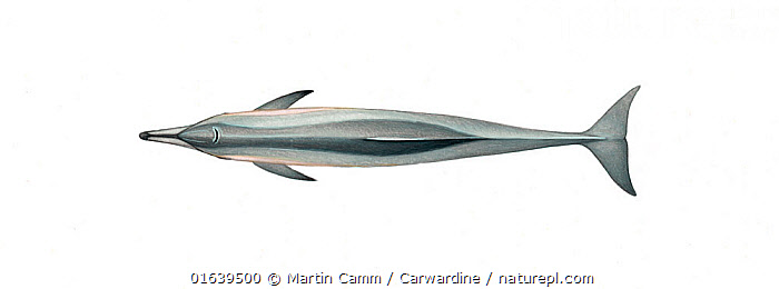 Spinner dolphin (Stenella longirostris) adult dwarf subspecies upperside     No more than 15 illustrations by Martin Camm, Rebecca Robinson and/or Toni Llobet to be used in a single project or book edition, except by prior written agreement from Mark Carwardine.  ,  Animal,Animalia,Bridled dolphins,Cetacea,cetacean,Cutout,Delphinidae,Dolphin,Illustration,Long-beaked Dolphin,Long-snouted Dolphin,Mammal,Mammalia,Marine,Oceanic dolphin,Odontoceti,Pantropical spinner dolphin,Plain Background,Spinner Dolphin,Spinner dolphins,Spotted dolphins,Stenella,Stenella longirostris,Vertebrate,White Background,Wildlife  ,  Martin Camm / Carwardine