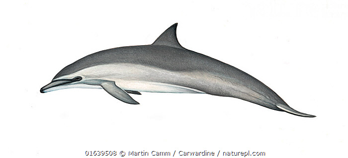 Spinner dolphin (Stenella longirostris) calf Gray's or Hawaiian subspecies     No more than 15 illustrations by Martin Camm, Rebecca Robinson and/or Toni Llobet to be used in a single project or book edition, except by prior written agreement from Mark Carwardine.  ,  Animal,Animalia,Baby,Baby Mammal,Bridled dolphins,Calf,Cetacea,cetacean,Cutout,Delphinidae,Dolphin,Illustration,Long-beaked Dolphin,Long-snouted Dolphin,Mammal,Mammalia,Marine,Oceanic dolphin,Odontoceti,Pantropical spinner dolphin,Plain Background,Spinner Dolphin,Spinner dolphins,Spotted dolphins,Stenella,Stenella longirostris,Vertebrate,White Background,Wildlife,Young Animal  ,  Martin Camm / Carwardine