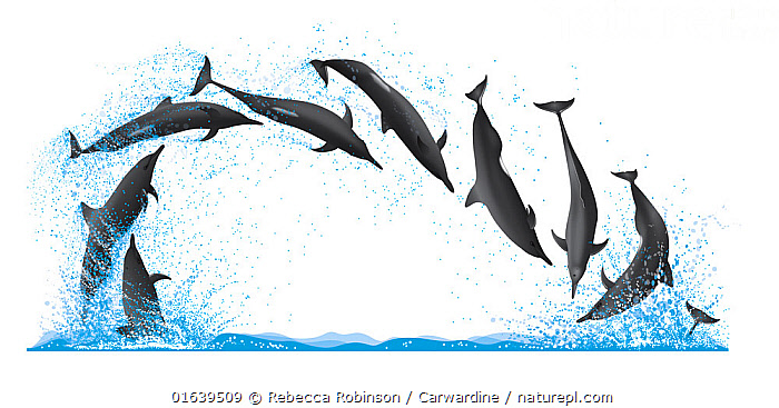 Spinner dolphin (Stenella longirostris) Spinning longitudinally     No more than 15 illustrations by Martin Camm, Rebecca Robinson and/or Toni Llobet to be used in a single project or book edition, except by prior written agreement from Mark Carwardine.  ,  Animal,Animalia,Bridled dolphins,Cetacea,cetacean,Cutout,Delphinidae,Dolphin,Illustration,Long-beaked Dolphin,Long-snouted Dolphin,Mammal,Mammalia,Marine,Oceanic dolphin,Odontoceti,Pantropical spinner dolphin,Plain Background,Spinner Dolphin,Spinner dolphins,Spotted dolphins,Stenella,Stenella longirostris,Vertebrate,White Background,Wildlife  ,  Rebecca Robinson / Carwardine