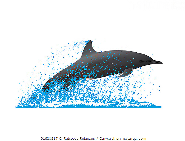 Spinner dolphin (Stenella longirostris) Porpoising     No more than 15 illustrations by Martin Camm, Rebecca Robinson and/or Toni Llobet to be used in a single project or book edition, except by prior written agreement from Mark Carwardine.  ,  Animal,Wildlife,Vertebrate,Mammal,Ceteacean,Oceanic dolphin,Spotted dolphins,Long-beaked Dolphin,Animalia,Animal,Wildlife,Vertebrate,Mammalia,Mammal,Cetacea,Ceteacean,Delphinidae,Oceanic dolphin,Dolphin,Odontoceti,Stenella,Spotted dolphins,Bridled dolphins,Spinner dolphins,Stenella longirostris,Long-beaked Dolphin,Long-snouted Dolphin,Spinner Dolphin,Pantropical spinner dolphin,Cutout,Plain Background,White Background,Illustration,Marine  ,  Rebecca Robinson / Carwardine