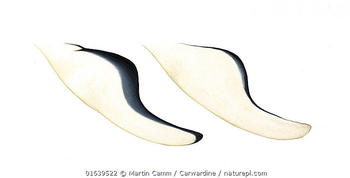 Southern right whale dolphin (Lissodelphis peronii) Flipper / pectoral fin variations     No more than 15 illustrations by Martin Camm, Rebecca Robinson and/or Toni Llobet to be used in a single project or book edition, except by prior written agreement from Mark Carwardine.  ,  Animal,Wildlife,Vertebrate,Mammal,Ceteacean,Oceanic dolphin,Right whale dolphins,Southern right whale dolphin,Animalia,Animal,Wildlife,Vertebrate,Mammalia,Mammal,Cetacea,Ceteacean,Delphinidae,Oceanic dolphin,Dolphin,Odontoceti,Lissodelphis,Right whale dolphins,Lissodelphis peronii,Southern right whale dolphin,Lissodelphis leucorhamphus,Cutout,Plain Background,White Background,Illustration,Marine  ,  Martin Camm / Carwardine