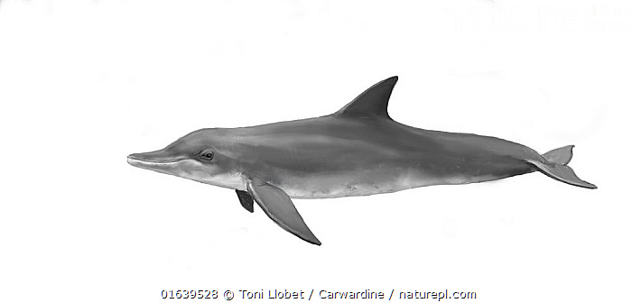 Rough-toothed dolphin (Steno bredanensis) calf     No more than 15 illustrations by Martin Camm, Rebecca Robinson and/or Toni Llobet to be used in a single project or book edition, except by prior written agreement from Mark Carwardine.  ,  Animal,Wildlife,Vertebrate,Mammal,Ceteacean,Oceanic dolphin,Rough toothed dolphin,Animalia,Animal,Wildlife,Vertebrate,Mammalia,Mammal,Cetacea,Ceteacean,Delphinidae,Oceanic dolphin,Dolphin,Odontoceti,Steno,Steno bredanensis,Rough toothed dolphin,Steno rostratus,Steno frontatus,Steno compressus,Cutout,Plain Background,White Background,Illustration,Young Animal,Baby,Baby Mammal,Calf,Marine  ,  Toni Llobet / Carwardine