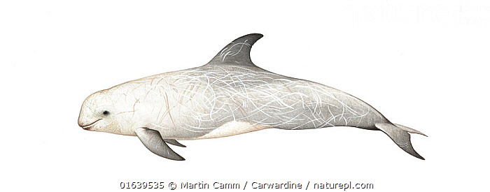 Risso's dolphin (Grampus griseus) Older male     No more than 15 illustrations by Martin Camm, Rebecca Robinson and/or Toni Llobet to be used in a single project or book edition, except by prior written agreement from Mark Carwardine.  ,  Animal,Wildlife,Vertebrate,Mammal,Ceteacean,Oceanic dolphin,Risso&#39,s dolphin,Animalia,Animal,Wildlife,Vertebrate,Mammalia,Mammal,Cetacea,Ceteacean,Delphinidae,Oceanic dolphin,Dolphin,Odontoceti,Grampus,Grampus griseus,Risso&#39,s dolphin,Grampus rissoanus,Grampus stearnsii,Cutout,Plain Background,White Background,Illustration,Male Animal,Marine  ,  Martin Camm / Carwardine