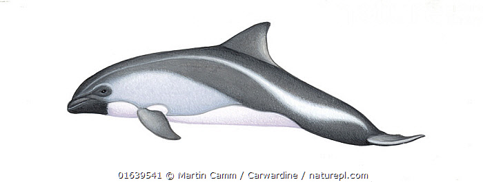 Peale's dolphin (Lagenorhynchus australis) calf     No more than 15 illustrations by Martin Camm, Rebecca Robinson and/or Toni Llobet to be used in a single project or book edition, except by prior written agreement from Mark Carwardine.  ,  Animal,Wildlife,Vertebrate,Mammal,Ceteacean,Oceanic dolphin,Dolphins,Blackchin Dolphin,Animalia,Animal,Wildlife,Vertebrate,Mammalia,Mammal,Cetacea,Ceteacean,Delphinidae,Oceanic dolphin,Dolphin,Odontoceti,Lagenorhynchus,Dolphins,Lagenorhynchus australis,Blackchin Dolphin,Peale&#39,s Dolphin,Lagenorhynchus amblodon,Lagenorhynchus chilensis,Cutout,Plain Background,White Background,Illustration,Young Animal,Baby,Baby Mammal,Calf,Marine  ,  Martin Camm / Carwardine