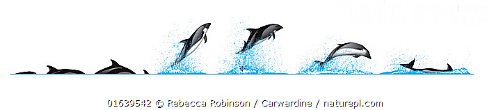 Peale's dolphin (Lagenorhynchus australis) Dive sequence - slow swimming - and breaching     No more than 15 illustrations by Martin Camm, Rebecca Robinson and/or Toni Llobet to be used in a single project or book edition, except by prior written agreement from Mark Carwardine.  ,  Animal,Animal Behaviour,Animalia,Behaviour,Behavioural,Blackchin Dolphin,Breaches,Breaching,Cetacea,cetacean,Cutout,Delphinidae,Dolphin,Dolphins,Illustration,Lagenorhynchus,Lagenorhynchus amblodon,Lagenorhynchus australis,Lagenorhynchus chilensis,Mammal,Mammalia,Marine,Oceanic dolphin,Odontoceti,Peale&#39,Plain Background,s Dolphin,Surfacing,Vertebrate,White Background,Wildlife  ,  Rebecca Robinson / Carwardine