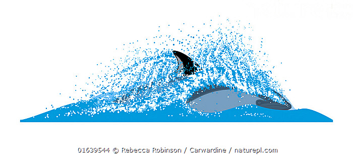 Peale's dolphin (Lagenorhynchus australis) Dive sequence - fast swimming     No more than 15 illustrations by Martin Camm, Rebecca Robinson and/or Toni Llobet to be used in a single project or book edition, except by prior written agreement from Mark Carwardine.  ,  Animal,Wildlife,Vertebrate,Mammal,Ceteacean,Oceanic dolphin,Dolphins,Blackchin Dolphin,Animalia,Animal,Wildlife,Vertebrate,Mammalia,Mammal,Cetacea,Ceteacean,Delphinidae,Oceanic dolphin,Dolphin,Odontoceti,Lagenorhynchus,Dolphins,Lagenorhynchus australis,Blackchin Dolphin,Peale&#39,s Dolphin,Lagenorhynchus amblodon,Lagenorhynchus chilensis,Cutout,Plain Background,White Background,Illustration,Marine  ,  Rebecca Robinson / Carwardine
