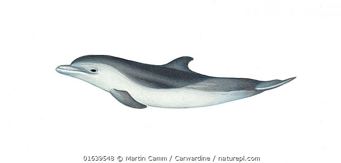 Pantropical spotted dolphin (Stenella attenuata)Two-tone calf     No more than 15 illustrations by Martin Camm, Rebecca Robinson and/or Toni Llobet to be used in a single project or book edition, except by prior written agreement from Mark Carwardine.  ,  Animal,Animalia,Baby,Baby Mammal,Bridled Dolphin,Bridled dolphins,Calf,Cetacea,cetacean,Cutout,Delphinidae,Dolphin,Illustration,Mammal,Mammalia,Marine,Narrow-snouted Dolphin,Oceanic dolphin,Odontoceti,Pantropical spotted dolphin,Plain Background,Spinner dolphins,Spotted dolphins,Stenella,Stenella attenuata,Stenella dubius,Vertebrate,White Background,Wildlife,Young Animal  ,  Martin Camm / Carwardine