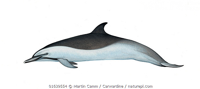 Pantropical spotted dolphin (Stenella attenuata)adult offshore subspecies     No more than 15 illustrations by Martin Camm, Rebecca Robinson and/or Toni Llobet to be used in a single project or book edition, except by prior written agreement from Mark Carwardine.  ,  Animal,Animalia,Bridled Dolphin,Bridled dolphins,Cetacea,cetacean,Cutout,Delphinidae,Dolphin,Illustration,Mammal,Mammalia,Marine,Narrow-snouted Dolphin,Oceanic dolphin,Odontoceti,Pantropical spotted dolphin,Plain Background,Spinner dolphins,Spotted dolphins,Stenella,Stenella attenuata,Stenella dubius,Vertebrate,White Background,Wildlife  ,  Martin Camm / Carwardine