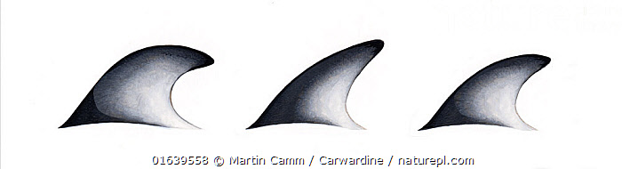 Pacific white-sided dolphin (Lagenorhynchus obliquidens)adult dorsal fin variations     No more than 15 illustrations by Martin Camm, Rebecca Robinson and/or Toni Llobet to be used in a single project or book edition, except by prior written agreement from Mark Carwardine.  ,  Animal,Animalia,Cetacea,cetacean,Cutout,Delphinidae,Dolphin,Dolphins,Illustration,Lagenorhynchus,Lagenorhynchus obliquidens,Mammal,Mammalia,Marine,Oceanic dolphin,Odontoceti,Pacific white-sided dolphin,Plain Background,Vertebrate,White Background,Wildlife  ,  Martin Camm / Carwardine