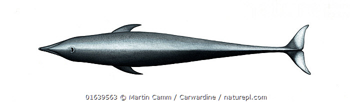 Northern right whale dolphin (Lissodelphis borealis)adult upperside     No more than 15 illustrations by Martin Camm, Rebecca Robinson and/or Toni Llobet to be used in a single project or book edition, except by prior written agreement from Mark Carwardine.  ,  Animal,Animalia,Cetacea,cetacean,Cutout,Delphinidae,Dolphin,Illustration,Lissodelphis,Lissodelphis borealis,Mammal,Mammalia,Marine,Northern right whale dolphin,Oceanic dolphin,Odontoceti,Plain Background,Right whale dolphins,Vertebrate,White Background,Wildlife  ,  Martin Camm / Carwardine