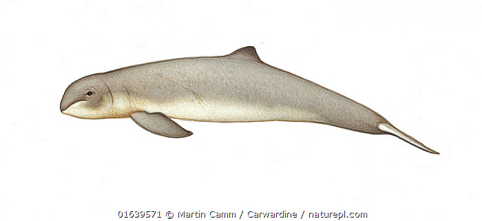 Irrawaddy dolphin (Orcaella brevirostris) calf     No more than 15 illustrations by Martin Camm, Rebecca Robinson and/or Toni Llobet to be used in a single project or book edition, except by prior written agreement from Mark Carwardine.  ,  Animal,Wildlife,Vertebrate,Mammal,Ceteacean,Oceanic dolphin,Snub fin dolphins,Irrawaddy Dolphin,Animalia,Animal,Wildlife,Vertebrate,Mammalia,Mammal,Cetacea,Ceteacean,Delphinidae,Oceanic dolphin,Dolphin,Odontoceti,Orcaella,Snub fin dolphins,Orcaella brevirostris,Irrawaddy Dolphin,Snubfin Dolphin,Orcaella fluminalis,Cutout,Plain Background,White Background,Illustration,Young Animal,Baby,Baby Mammal,Calf,Marine,Endangered species,threatened,Vulnerable  ,  Martin Camm / Carwardine