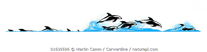 Hourglass dolphin (Lagenorhynchus cruciger) Dive sequence - slow travelling and fast travelling     No more than 15 illustrations by Martin Camm, Rebecca Robinson and/or Toni Llobet to be used in a single project or book edition, except by prior written agreement from Mark Carwardine.  ,  Animal,Wildlife,Vertebrate,Mammal,Ceteacean,Oceanic dolphin,Dolphins,Hourglass dolphin,Animalia,Animal,Wildlife,Vertebrate,Mammalia,Mammal,Cetacea,Ceteacean,Delphinidae,Oceanic dolphin,Dolphin,Odontoceti,Lagenorhynchus,Dolphins,Lagenorhynchus cruciger,Hourglass dolphin,Lagenorhynchus albigena,Lagenorhynchus bivitattus,Lagenorhynchus clanculus,Cutout,Plain Background,White Background,Illustration,Marine  ,  Martin Camm / Carwardine