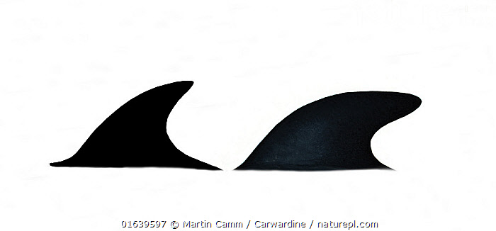 Hourglass dolphin (Lagenorhynchus cruciger) Dorsal fin comparison (female left, male right)     No more than 15 illustrations by Martin Camm, Rebecca Robinson and/or Toni Llobet to be used in a single project or book edition, except by prior written agreement from Mark Carwardine.  ,  Animal,Wildlife,Vertebrate,Mammal,Ceteacean,Oceanic dolphin,Dolphins,Hourglass dolphin,Animalia,Animal,Wildlife,Vertebrate,Mammalia,Mammal,Cetacea,Ceteacean,Delphinidae,Oceanic dolphin,Dolphin,Odontoceti,Lagenorhynchus,Dolphins,Lagenorhynchus cruciger,Hourglass dolphin,Lagenorhynchus albigena,Lagenorhynchus bivitattus,Lagenorhynchus clanculus,Cutout,Plain Background,White Background,Illustration,Female animal,Male Animal,Marine  ,  Martin Camm / Carwardine