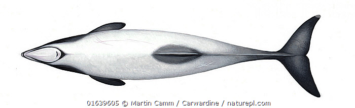 Hector's dolphin (Cephalorhynchus hectori)adult upperside     No more than 15 illustrations by Martin Camm, Rebecca Robinson and/or Toni Llobet to be used in a single project or book edition, except by prior written agreement from Mark Carwardine. Editorial use only.  ,  Animal,Wildlife,Vertebrate,Mammal,Ceteacean,Oceanic dolphin,Hector&#39,s Dolphin,Animalia,Animal,Wildlife,Vertebrate,Mammalia,Mammal,Cetacea,Ceteacean,Delphinidae,Oceanic dolphin,Dolphin,Odontoceti,Cephalorhynchus,Cephalorhynchus hectori,Hector&#39,s Dolphin,New Zealand Dolphin,White-headed Dolphin,Cutout,Plain Background,White Background,Illustration,Marine,Endangered species,threatened,Endangered  ,  Martin Camm / Carwardine