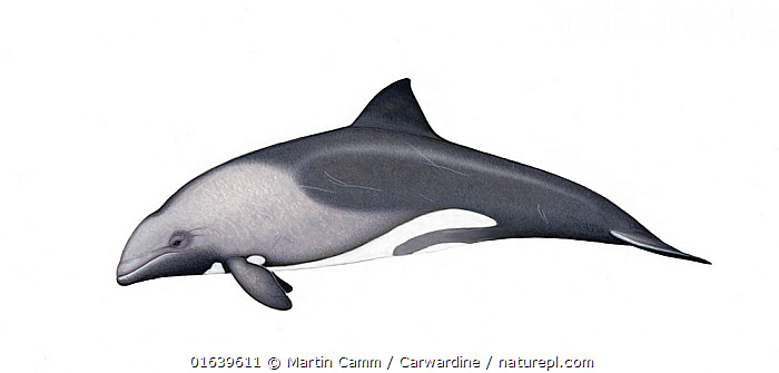 Heaviside's dolphin (Cephalorhynchus heavisidii) adult     No more than 15 illustrations by Martin Camm, Rebecca Robinson and/or Toni Llobet to be used in a single project or book edition, except by prior written agreement from Mark Carwardine.  ,  Animal,Wildlife,Vertebrate,Mammal,Ceteacean,Oceanic dolphin,Benguela Dolphin,Animalia,Animal,Wildlife,Vertebrate,Mammalia,Mammal,Cetacea,Ceteacean,Delphinidae,Oceanic dolphin,Dolphin,Odontoceti,Cephalorhynchus,Cephalorhynchus heavisidii,Benguela Dolphin,Heaviside&#39,s Dolphin,Cephalorhynchus hastatus,Cutout,Plain Background,White Background,Illustration,Marine  ,  Martin Camm / Carwardine