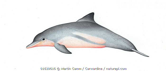 Guiana dolphin (Sotalia guianensis)