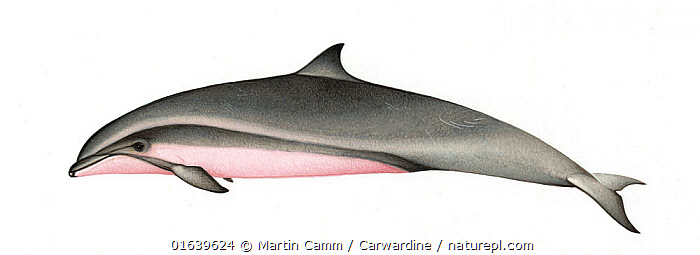 Fraser's dolphin (Lagenodelphis hosei) adult female     No more than 15 illustrations by Martin Camm, Rebecca Robinson and/or Toni Llobet to be used in a single project or book edition, except by prior written agreement from Mark Carwardine.  ,  Animal,Wildlife,Vertebrate,Mammal,Ceteacean,Oceanic dolphin,Fraser&#39,s Dolphin,Animalia,Animal,Wildlife,Vertebrate,Mammalia,Mammal,Cetacea,Ceteacean,Delphinidae,Oceanic dolphin,Dolphin,Odontoceti,Lagenodelphis,Lagenodelphis hosei,Fraser&#39,s Dolphin,Sarawak Dolphin,Cutout,Plain Background,White Background,Illustration,Female animal,Marine  ,  Martin Camm / Carwardine