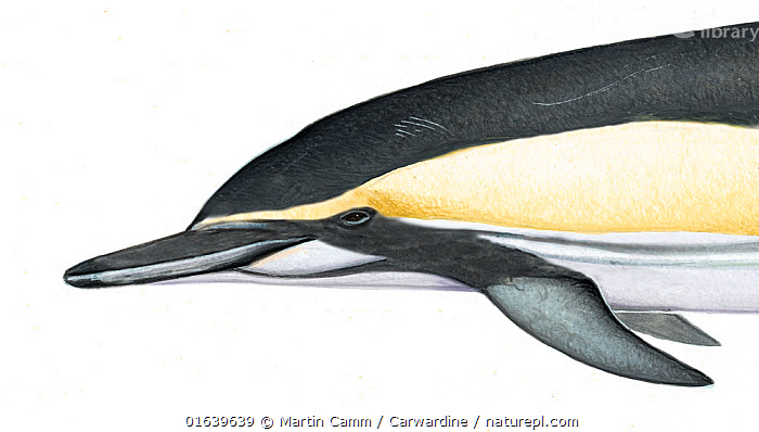 Common dolphin (Delphinus delphis) adult bairdii subspecies (eastern North Pacific) head variation     No more than 15 illustrations by Martin Camm, Rebecca Robinson and/or Toni Llobet to be used in a single project or book edition, except by prior written agreement from Mark Carwardine.  ,  Animal,Wildlife,Vertebrate,Mammal,Ceteacean,Oceanic dolphin,Common dolphins,Atlantic Dolphin,Animalia,Animal,Wildlife,Vertebrate,Mammalia,Mammal,Cetacea,Ceteacean,Delphinidae,Oceanic dolphin,Dolphin,Odontoceti,Delphinus,Common dolphins,Delphinus delphis,Atlantic Dolphin,Pacific Dolphin,Saddle-backed Dolphin,Short-beaked Common Dolphin,Short-beaked Saddleback Dolphin,Cutout,Plain Background,White Background,Illustration,Marine  ,  Martin Camm / Carwardine