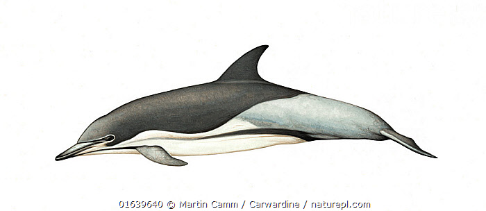 Common dolphin (Delphinus delphis)