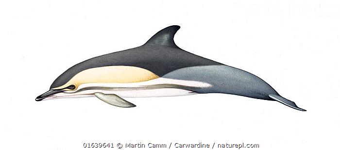 Common dolphin (Delphinus delphis) adult ponticus (Black Sea) subspecies     No more than 15 illustrations by Martin Camm, Rebecca Robinson and/or Toni Llobet to be used in a single project or book edition, except by prior written agreement from Mark Carwardine.  ,  Animal,Wildlife,Vertebrate,Mammal,Ceteacean,Oceanic dolphin,Common dolphins,Atlantic Dolphin,Animalia,Animal,Wildlife,Vertebrate,Mammalia,Mammal,Cetacea,Ceteacean,Delphinidae,Oceanic dolphin,Dolphin,Odontoceti,Delphinus,Common dolphins,Delphinus delphis,Atlantic Dolphin,Pacific Dolphin,Saddle-backed Dolphin,Short-beaked Common Dolphin,Short-beaked Saddleback Dolphin,Cutout,Plain Background,White Background,Illustration,Marine  ,  Martin Camm / Carwardine