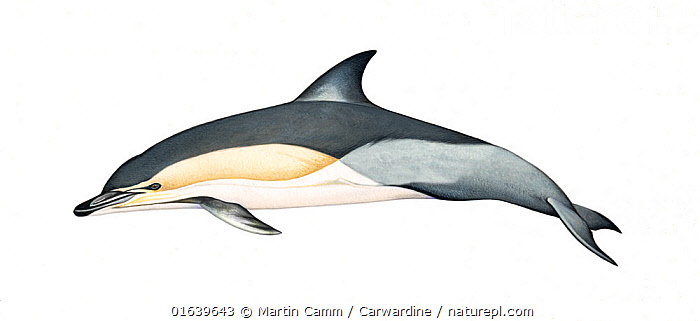 Common dolphin (Delphinus delphis) adult delphis subspecies     No more than 15 illustrations by Martin Camm, Rebecca Robinson and/or Toni Llobet to be used in a single project or book edition, except by prior written agreement from Mark Carwardine.  ,  Animal,Wildlife,Vertebrate,Mammal,Ceteacean,Oceanic dolphin,Common dolphins,Atlantic Dolphin,Animalia,Animal,Wildlife,Vertebrate,Mammalia,Mammal,Cetacea,Ceteacean,Delphinidae,Oceanic dolphin,Dolphin,Odontoceti,Delphinus,Common dolphins,Delphinus delphis,Atlantic Dolphin,Pacific Dolphin,Saddle-backed Dolphin,Short-beaked Common Dolphin,Short-beaked Saddleback Dolphin,Cutout,Plain Background,White Background,Illustration,Marine  ,  Martin Camm / Carwardine
