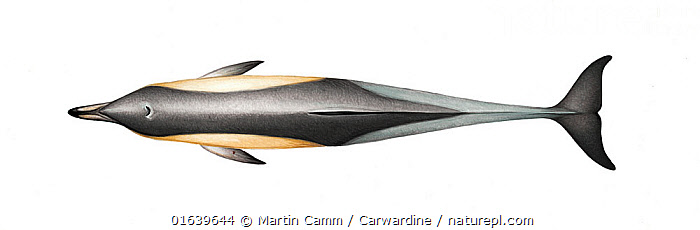 Common dolphin (Delphinus delphis) adult delphis subspecies upperside     No more than 15 illustrations by Martin Camm, Rebecca Robinson and/or Toni Llobet to be used in a single project or book edition, except by prior written agreement from Mark Carwardine.  ,  Animal,Wildlife,Vertebrate,Mammal,Ceteacean,Oceanic dolphin,Common dolphins,Atlantic Dolphin,Animalia,Animal,Wildlife,Vertebrate,Mammalia,Mammal,Cetacea,Ceteacean,Delphinidae,Oceanic dolphin,Dolphin,Odontoceti,Delphinus,Common dolphins,Delphinus delphis,Atlantic Dolphin,Pacific Dolphin,Saddle-backed Dolphin,Short-beaked Common Dolphin,Short-beaked Saddleback Dolphin,Cutout,Plain Background,White Background,Illustration,Marine  ,  Martin Camm / Carwardine
