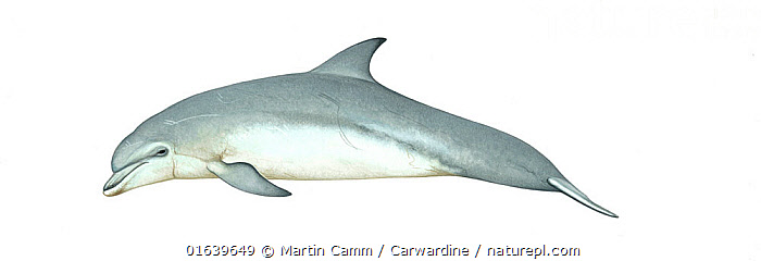 Common bottlenose dolphin (Tursiops truncatus)adult     No more than 15 illustrations by Martin Camm, Rebecca Robinson and/or Toni Llobet to be used in a single project or book edition, except by prior written agreement from Mark Carwardine.  ,  Animal,Animalia,Bottle nose dolphins,Bottlenose Dolphin,Bottlenosed Dolphin,Bottle-nosed Dolphin,Cetacea,cetacean,Common Bottlenose Dolphin,Cutout,Delphinidae,Dolphin,Illustration,Mammal,Mammalia,Marine,Oceanic dolphin,Odontoceti,Plain Background,Tursiops,Tursiops truncatus,Vertebrate,White Background,Wildlife  ,  Martin Camm / Carwardine